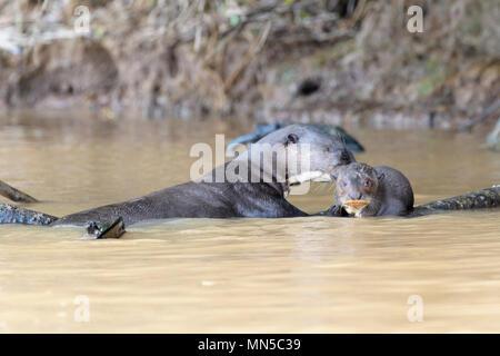 La loutre géante (Pteronura brasiliensis) nettoyage adultes cub dans l'eau, Pantanal, Mato Grosso, Brésil.