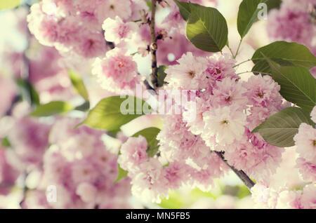 Un mariage romantique ou une carte-cadeau de fond avec sakura en fleurs dans un ressort. Belles fleurs rose doux sous la lumière du soleil