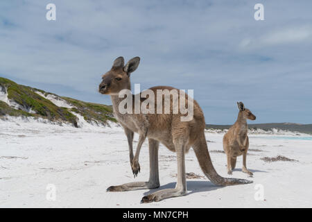 Kangourous sur la plage blanche de Lucky Bay, Cape Le Grand National Park, Australie occidentale Banque D'Images