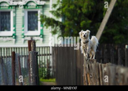 Petit chien blanc debout sur la barrière, qui jappe à passants soirée de printemps. Banque D'Images