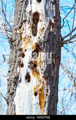 Des trous de pic-bois dans un arbre sec. Banque D'Images