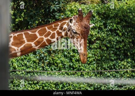 Gros plan de la tête de girafe sur fond vert dans un zoo. Banque D'Images