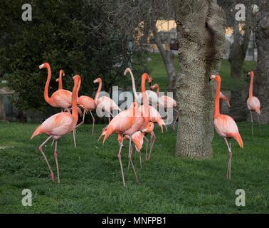 Famille de flamand rose dans un jardin dans la ville de Madrid, Espagne et dont le nom scientifique est Phoenicopterus Banque D'Images