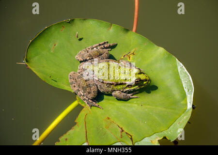 La grenouille verte sur algues feuilles Banque D'Images