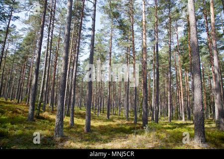 Forêt de PIN 2018 Banque D'Images
