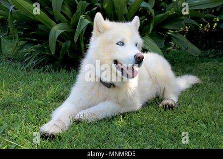 Chien Husky de Sibérie blanc pur avec des yeux bleus close up portrait Banque D'Images