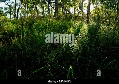 Hauteur de l'herbe épaisse à l'avant-plan avec la lumière du matin en passant par les arbres en arrière-plan, Jourama Falls, Bruce Hwy, Yuruga France