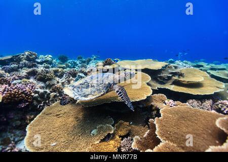 Tortue imbriquée nager sous l'eau parmi les récifs coralliens Banque D'Images