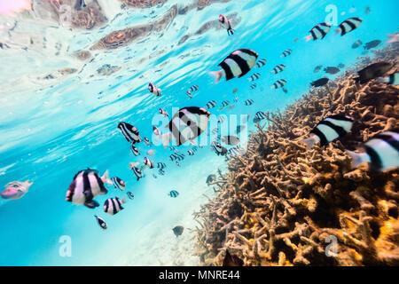 Beaux coraux colorés et poissons tropicaux sous l'eau dans les Maldives Banque D'Images