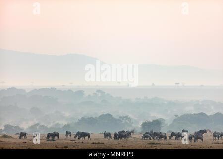 Gnous au petit matin sur le Masai Mara au Kenya Banque D'Images