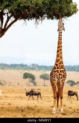 Girafe parc safari Masai Mara au Kenya Afrique Banque D'Images