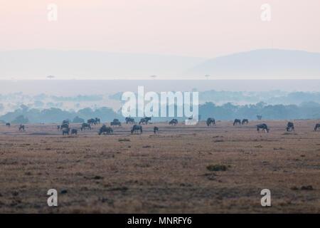 Gnous au petit matin sur le Masai Mara au Kenya