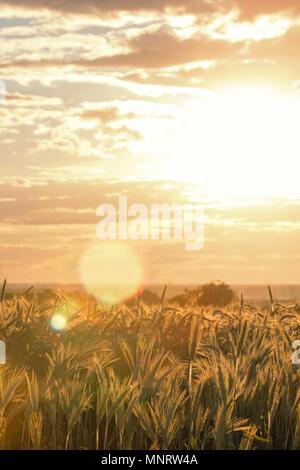 Les épis de blé sous le soleil. Soleil qui brille à travers le blé mûr. Banque D'Images