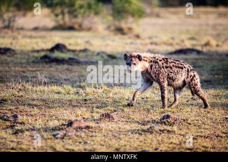 L'hyène au parc safari au Kenya