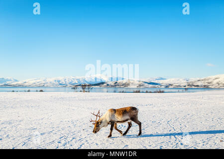 Rennes dans le Nord de la Norvège avec des fjords époustouflants paysages de jour d'hiver ensoleillé Banque D'Images