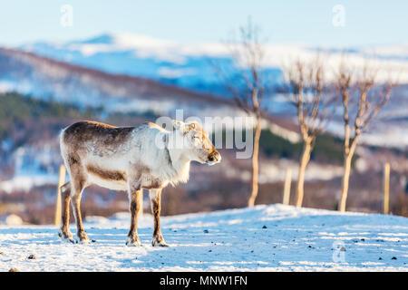 Rennes mâles sauvages dans le Nord de la Norvège avec des fjords époustouflants paysages de jour d'hiver ensoleillé Banque D'Images
