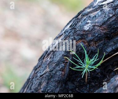 Un nouveau pin émergeant des débris dans un tronc d'arbre brûlé Banque D'Images