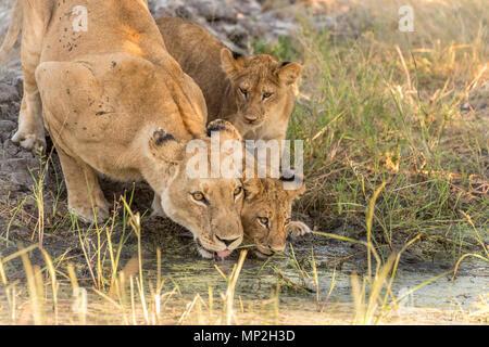 Lionne avec de l'eau potable d'oursons dans vumbera dans le delta de l'Okavango au Botswana