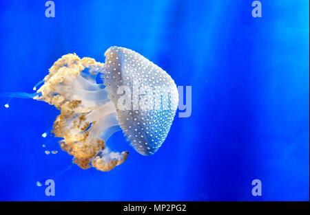 Repéré blanc flottant méduses méduses méduse tachetée australienne bell bleu profond de l'arrière-plan sous-marin Banque D'Images