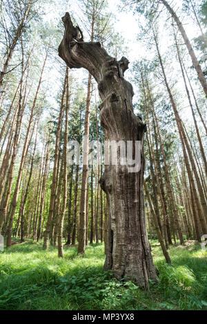Magnifique vieil arbre sec dans l'herbe verte. De grands arbres en arrière-plan. D'Art Naturel. Torse de bois monumentale de tronc en forêt ensoleillée. Cime des arbres et le ciel. Banque D'Images