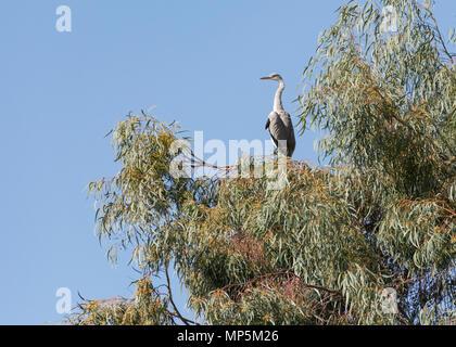 Un héron cendré perché dans un arbre d'Eucalyptus dans le kibboutz Dan en Israël Banque D'Images