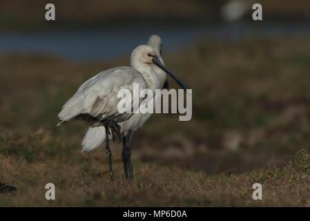 Spatule blanche Spatule blanche ou conjoint (Platalea leucorodia) est un oiseau échassier. Banque D'Images