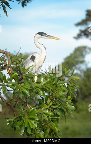 Le Héron Cocoi (Ardea cocoi) dans la chasse de la rivière Tree, Pantanal, Mato Grosso, Brésil Banque D'Images
