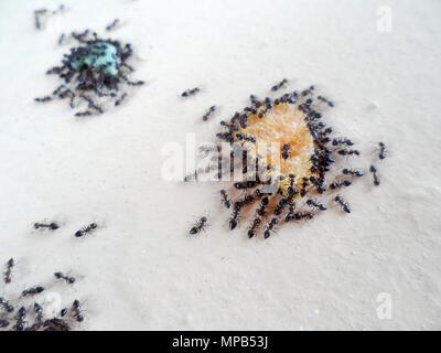 Une armée de fourmis jardin noir, Lasius niger, au cours de l'essaim des miettes de la nourriture laissée sur un mur à Marmaris, Turquie Banque D'Images