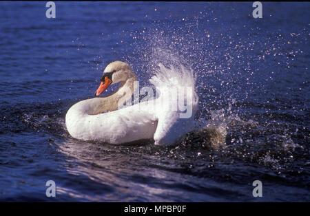 MUTE Swan (Cygnus olor) AVON RIVER, EN AUSTRALIE OCCIDENTALE. Banque D'Images
