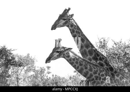 Girafe dans Kruger National Park, Afrique du Sud; Espèce Giraffa camelopardalis famille de Giraffidae Banque D'Images
