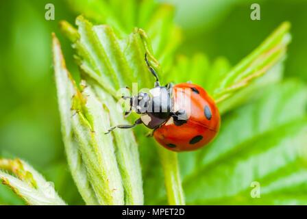 Coccinelle insecte sur feuille Macro Banque D'Images