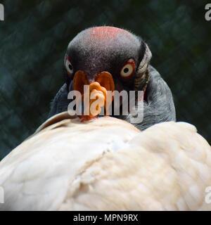 Vautour pape (Sarcoramphus papa) tête de près. À la recherche d'oiseaux à l'appareil photo. Forme carrée de l'image. Banque D'Images