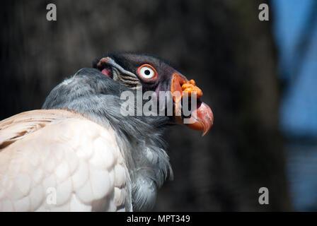 Portrait d'un oiseau vautour pape l'exposition au soleil Banque D'Images