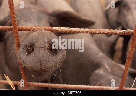 Les porcs de race ibérique, l'Espagne, pata negra de Jabugo, Banque D'Images