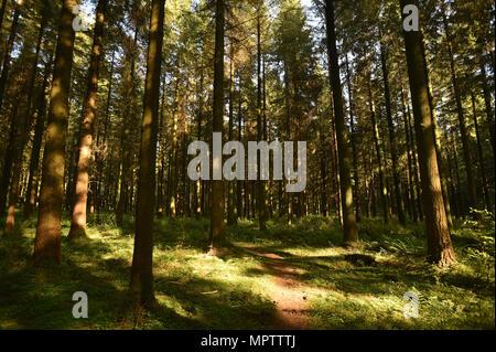 Elevant vers lumière tombe sur un chemin de bois dans une forêt Wiltshire Banque D'Images
