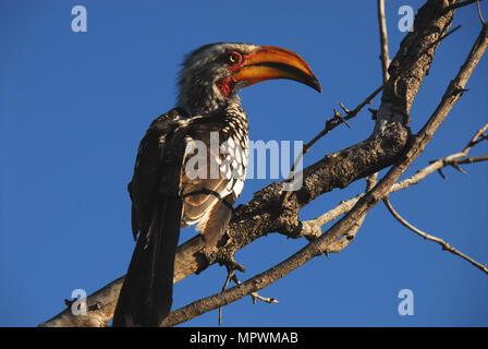 Photographié sur safari en Afrique du Sud, près de la frontière avec le Botswana. Banque D'Images