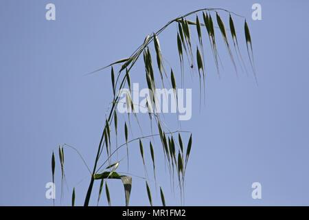 L'avoine sauvage hirsute plante avec la lumière derrière nom Latin sterilis Avena sativa ou ou fatua en Italie au printemps Banque D'Images