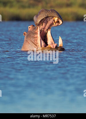 Le bâillement d'hippopotame Banque D'Images