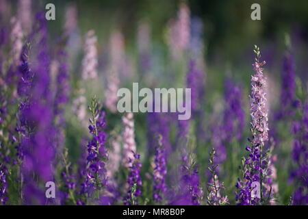 Clairière de tall fleurs delphinium