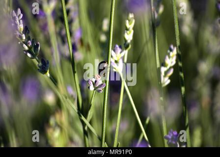 Champ avec des rangées de lavande dans une journée ensoleillée, au lever du soleil, avec un insecte sur une fleur. Bokeh. Close-up. Banque D'Images