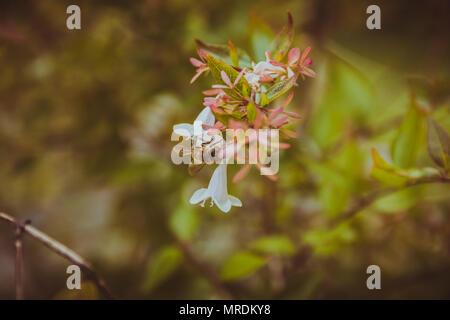 Abeille sur fleur blanche. Close up. Focus sélectif. look vintage. Banque D'Images