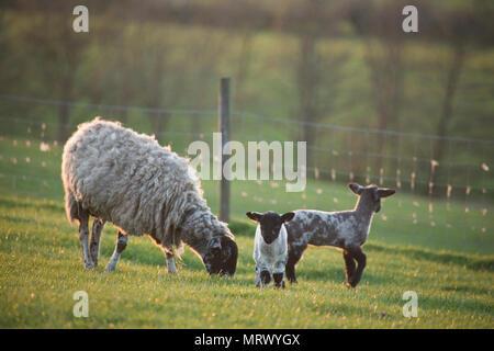 Moutons et agneaux dans un champ dans le North Yorkshire, Angleterre, Royaume-Uni Banque D'Images