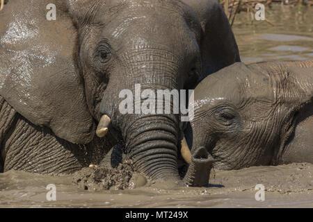 Les jeunes éléphants s'amusant dans le trou d'eau. Banque D'Images