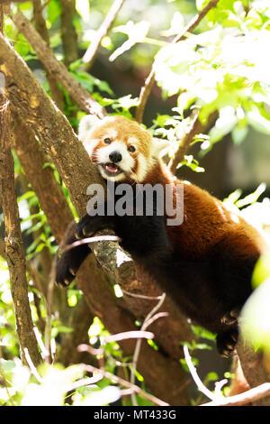 Un panda rouge (Ailurus fulgens) reposant dans un arbre. Banque D'Images