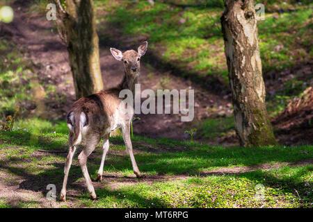 Chevreuil femelle effrayé dans la forêt Banque D'Images