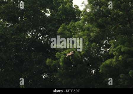 Un seul le milan royal Milvus milvus, flys au-dessus d'un champ avec des arbres en arrière-plan. L'espace pour copier.