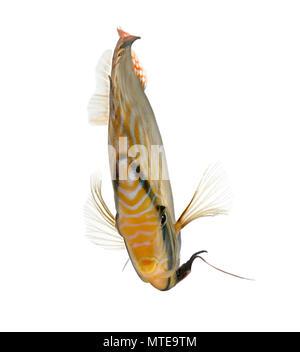 Turquoise rouge poisson Discus Symphysodon aequifasciatus, devant un fond blanc, studio shot
