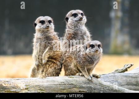 Les suricates mignon debout Banque D'Images