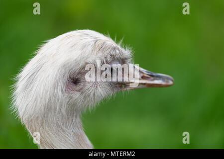 Portrait d'oiseaux nandou