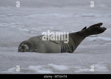 La faune de l'Antarctique Banque D'Images